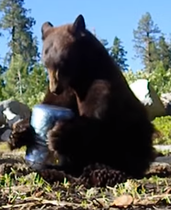 bear try to open bear box.PNG