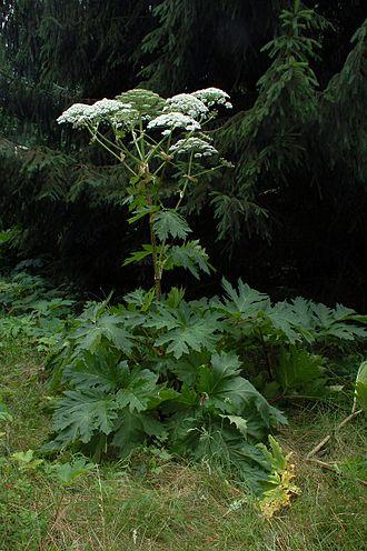 Giant Hogweed.jpg